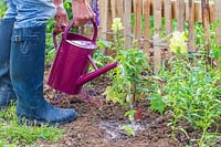 Woman watering newly planted Thunbergia alata young plants with watering can