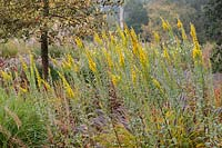 Upright Solidago californica with Pennisetum and Persicarias near a variegated fastigiate Ilex - Holly