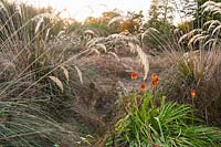 Gondwanaland, an area of southern hemisphere species including monkey puzzles, Araucaria araucana, New Zealand pampas, Cortaderia richardii and Kniphofia rooperi at Marks Hall Gardens in autumn.