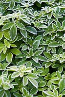 Frosted leaves of Choisya ternata