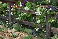 A rustic fence supporting Rosa 'Bobbie James', a rambling rose.