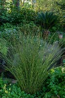 The Resilience Garden.  Horsetail - Equisetum hyemale as marginal plant.