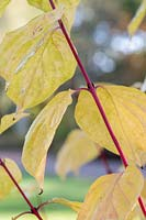 Cornus sanguinea 'Magic Flame' - Dogwood - red stem and yellow foliage