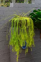 A yellow green Rhipsalis succulent in a basket sitting on top of a brick pier, which is part of a painted brick wall.