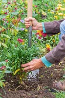 Woman planting bare root Wallflowers in border using a border spade.