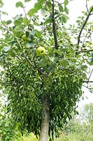Viscum album - Mistletoe growing in apple tree.