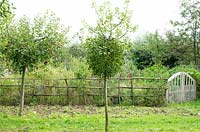 Mistletoe growing in apple trees in front of the flower garden with rustic fence