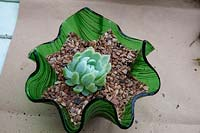 Planting an Echeveria into a decorative small glass bowl - Top with grit