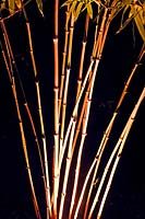 Phyllostachys - Bamboo - canes lit by electric lighting after dark