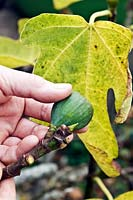 Removing immature fruits of Ficus carica - Fig for a good crop later on
