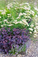 Corner of bed with purple-leaved Sedum amongst Calamintha nepeta subsp. nepeta 'Blue Cloud' and Achillea ''Lachsschönheit' syn. 'Salmon Beauty'