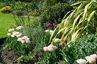 View across mixed bed with mix of flowering Tulipa - Tulip - planted informally