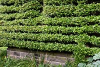 Pyracantha trained as a perfectly clipped espalier on the side of the house at York Gate Garden, Adel in July.
