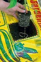 Planting a Tomato plant into a growing bag with a square cut away