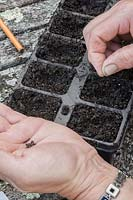 Sowing Mizuna seeds into a module tray.