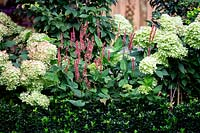 West London garden - planting includes Hydrangea paniculata Little Lime, Persicaria Orange Field, Carpinus betulus Frans Fontaine, Euonymus Jean Hughes.