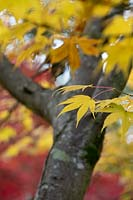 Acer palmatum subsp. 'Amoenum' - Japanese Maple  'Amoenum' leaves in autumn