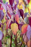 Cornus alba 'Sibirica Ruby' - Siberian Dogwood foliage and stems in autumn