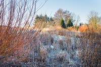 Border with Salix alba var. vitellina 'Yelverton' and Phlomis tuberosa 'Amazone' covered with frost in Winter.