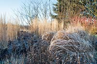 Border with Panicum virgatum 'Warrior' and Calamagrostis x acutiflora 'Karl Foerster' covered with frost in Winter.
