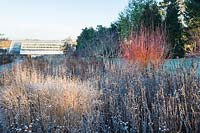 Salix alba var. vitellina 'Yelverton' and dry seedheads of Helenium 'Riverton Beauty' covered with frost in Winter.