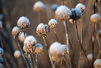 Dried seedheads of Monarda 'Violet Queen' 'bergamot' AGM covered with frost in Winter.