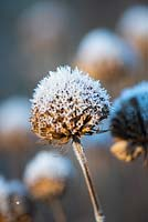 Dried seedheads of Monarda 'Violet Queen' - bergamot, AGM covered with frost in Winter.
