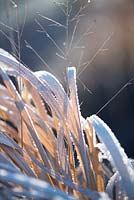 Panicum virgatum 'Warrior' covered with frost in Winter.