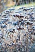 Dried seedheads of Hylotelephium 'Matrona' stonecrop - syn.sedum, AGM covered with frost in Winter.