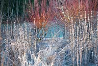 Border with Phlomis tuberosa 'Amazone' and Salix alba var. vitellina 'Yelverton' covered with frost in Winter.