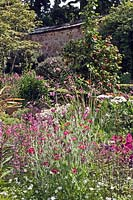 Mixed herbaceous and shrub planting including Silene and Diarama at Bickham House, Devon, England.