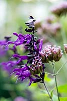 Salvia 'Amistad' and Verbena bonariensis