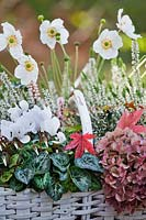floral arrangement in wicker basket: Hydrangea flower head, Japanese Anemone, Cyclamen flowers and foliage and Heather