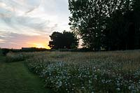 Meadow garden at sunset, showing cut paths and nearby trees. Wildflower planting includes: Agrostis capillaris - Common Bent, Agrostis vinealis -Brown Bent, Cynosurus cristatus - Crested Dogstail, Senecio jacobea - self seeded, Daucus carota - Wild Carrot and Centaurea nigra - Knapweed