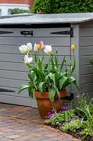 Spring front garden in West London with bin shed. Tulips in container including : Rembrandt Tulips