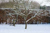 Cercis canadensis - Forest Pansy and  Elaeagnus angustifolia in the wild garden with a Fagus - Beech hedge, snow in late February. The Old Rectory, Suffolk, UK