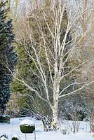 Betula - silver birch tree, Buxus - box ball, bed with shrubs and perennials with snow in late February. The Old Rectory, Suffolk, UK