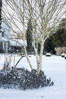 Betula - silver birch tree with underplanting of Salvia officinalis 'Purpurascens' - Purple Sage. Buxus - box balls in snow in late February. The Old Rectory, Suffolk, UK