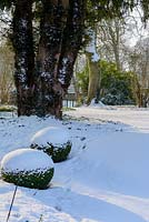Taxus baccata - trunk of old yew with Buxus - box balls with snow in late February. The Old Rectory, Suffolk, UK