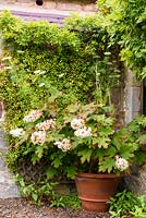 Hydrangea quercifolia in a large terracotta pot in front of Trachelospermum jasminoides in the Upper Courtyard at Broadwoodside, Gifford, East Lothian in Scotland.