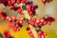 Crataegus persimilis 'Prunifolia Splendens' - Hawthorn berries in autumn