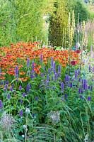 Herbaceous borders at Bluebell Cottage Gardens, Dutton, Cheshire. Planting includes Helenium 'Sahins Early Flowerer' and Agastache 'Liquorice Blue'.