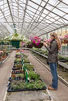 Interior of garden centre greenhouse, woman buying plants.
