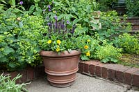 Terracotta pot with Calibrachoa 'Callie', Viola 'Back to Black' and Salvia set against Alchemilla mollis, Geranium 'Kashmir Purple' and Phlomis.