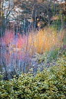 Salix irrorata 'blue-stem willow' and Euonymus fortunei 'Sunshine'.