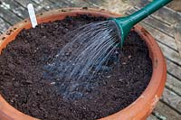 Sowing seeds into drills in compost in a terracotta pot container sequence. Step 4 Water seeds in using a watering can with an attached rose