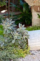 A group of succulents in a seashell mulched garden with a timber log seat, feturing Kalanchoe tomentosa Panda Plant, Sedum acre Gold mound and Crassula pellucida subsp. marginalis, Little Missy.