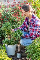 Woman lifting bareroot Wallflowers from metal bucket ready for planting in Autumn.