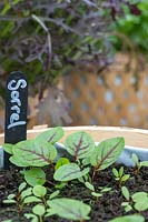 Sorrel seedlings in pot
