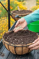 Sowing Pea seeds directly into hanging basket filled with compost